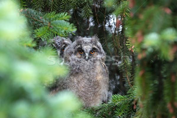 Jungen Eule Kiefer Baum Baby Auge Stock foto © gsermek