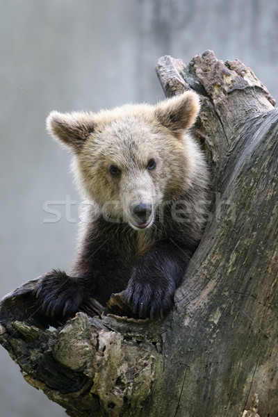 Grizzly bear on a tree Stock photo © gsermek