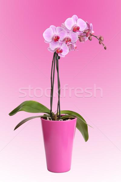 Güzel pembe orkide pot yalıtılmış çiçek Stok fotoğraf © gsermek