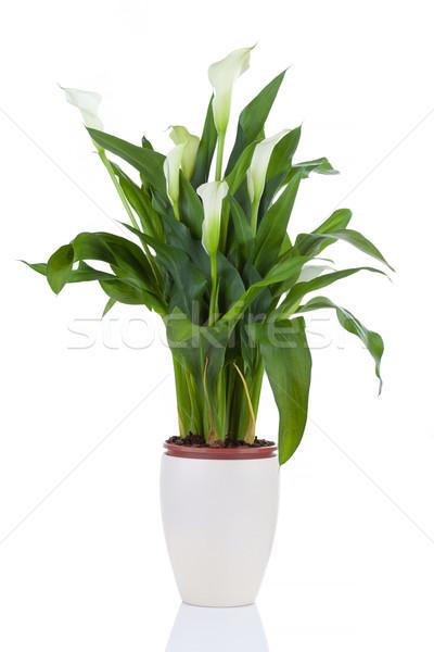 Calla lily in a pot Stock photo © gsermek