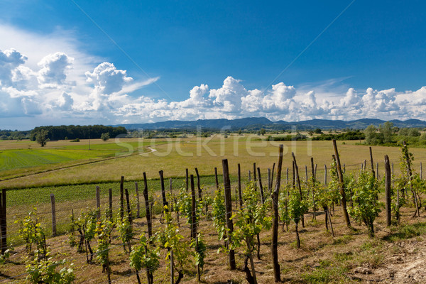 Vineyard in Zagorje region in Croatia Stock photo © gsermek
