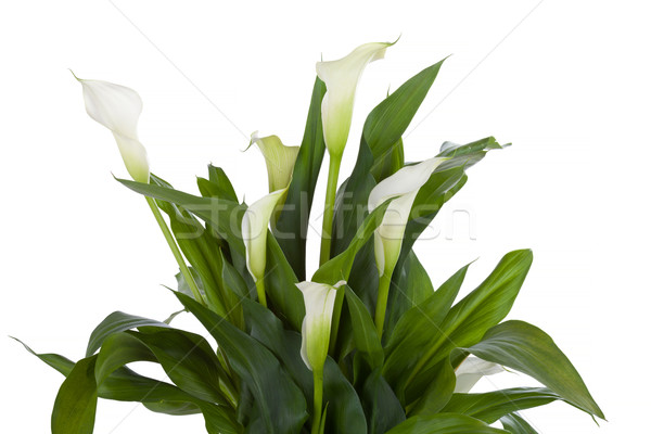 Calla lily isolated on white Stock photo © gsermek
