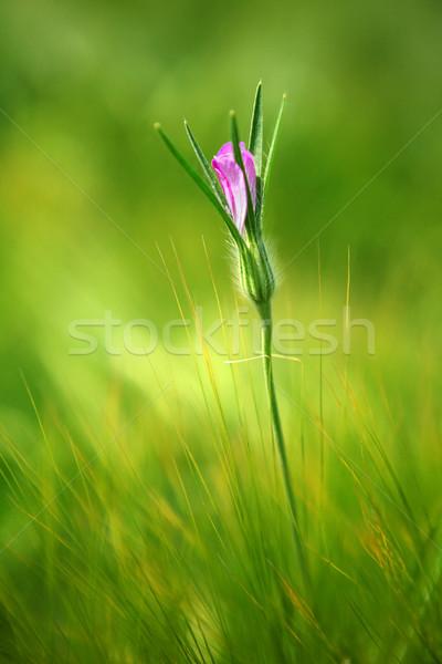 Hermosa flor rosa brote campo de trigo primavera forestales Foto stock © gsermek