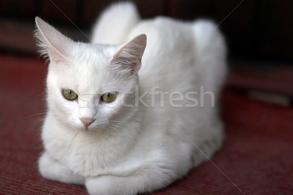 誇りに思う 白 猫 リラックス 階 眼 ストックフォト © gsermek