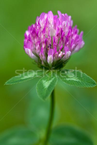 Purple clover flowerhead Stock photo © gsermek