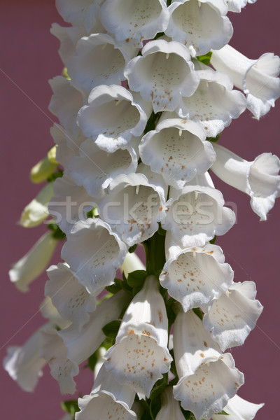 近い 表示 白 花 手袋 死んだ ストックフォト © gsermek