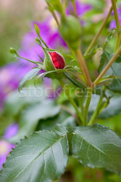 Gül tomurcuk bahçe çiçek sevmek saç Stok fotoğraf © gsermek
