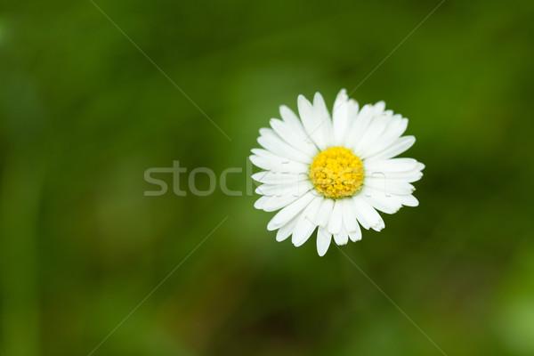 Daisy kwiat trawnik płytki skupić wiosną Zdjęcia stock © gsermek