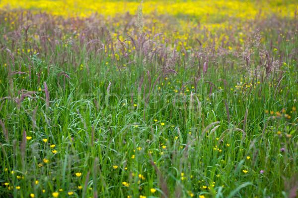Tall grass at springtime Stock photo © gsermek