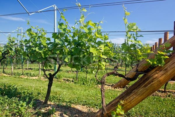 Young grape wines in the vineyard  Stock photo © gsermek