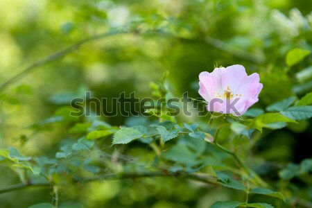 Close up of a dog rose (Rosa Canina) Stock photo © gsermek