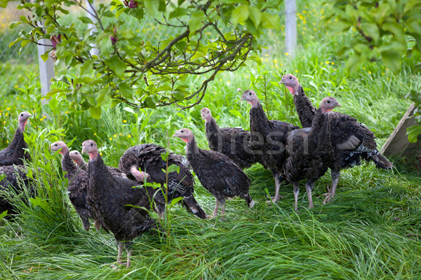 Young turkey chicks on farm in the open Stock photo © gsermek