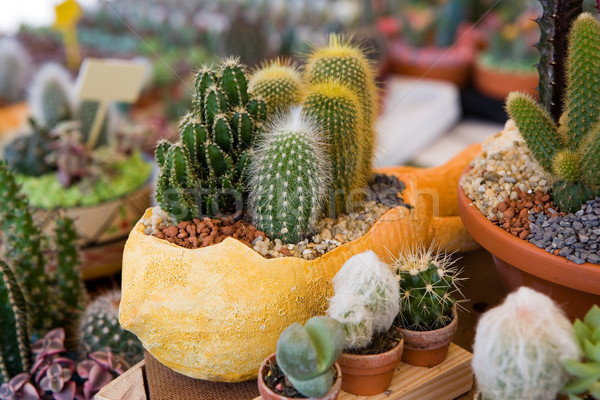 Flower pot with variety of succulents Stock photo © gsermek