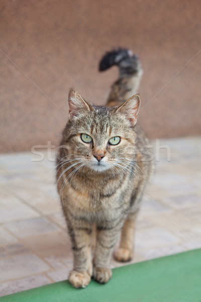 Chat gris belle yeux verts nature chat cheveux Photo stock © gsermek