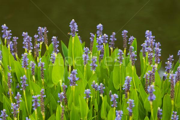 Fioletowy niebieski kwiaty rozwój jezioro roślin Zdjęcia stock © gsermek