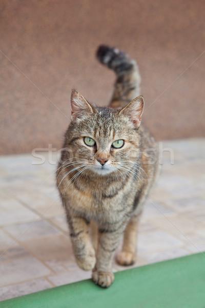 Grijze kat mooie groene ogen natuur kat haren Stockfoto © gsermek