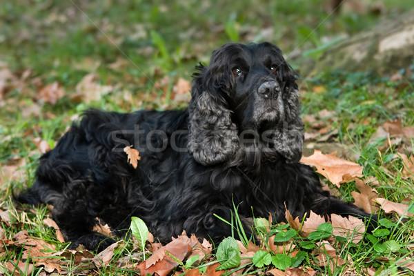 Dog resting on fallen leaves Stock photo © gsermek