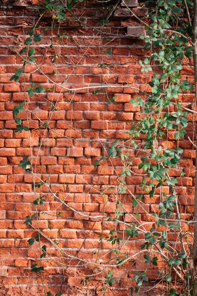 Tuğla duvar kapalı sarmaşık doku duvar yaprak Stok fotoğraf © gsermek