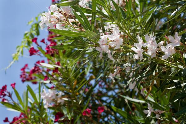 Fehér rózsaszín fa virág égbolt virág Stock fotó © gsermek