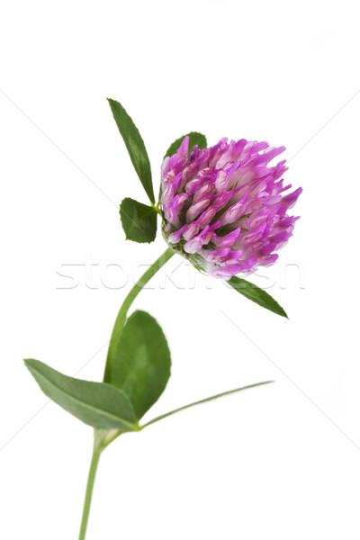 ストックフォト: 赤 · クローバー · 白 · 花 · 春 · 草