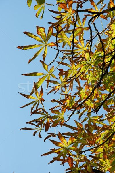 Folhas castanha árvore blue sky folha Foto stock © Gudella