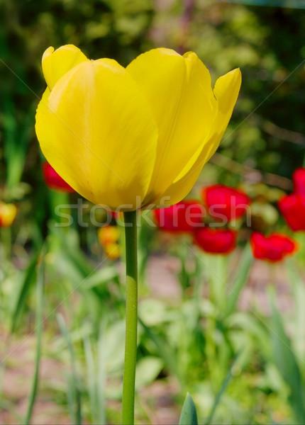 Tulipa amarelo jardim primavera campo Foto stock © Gudella