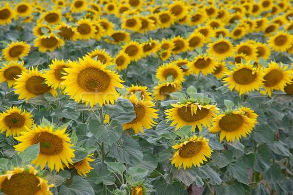 Girassóis campo sol fundo verão Foto stock © Gudella