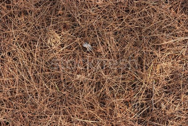 Pinho folhas terreno natureza fundo parque Foto stock © Gudella