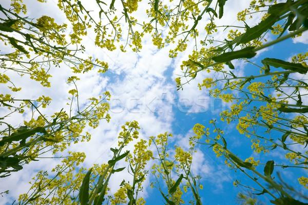Plantas céu flor primavera campo Óleo Foto stock © Gudella