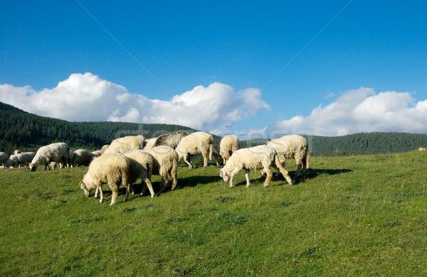 Ovelha montanha paisagem céu natureza verão Foto stock © Gudella
