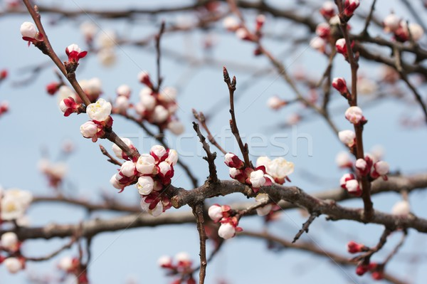 Buds Stock photo © Gudella
