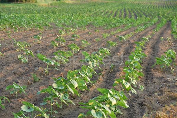 Agricultura agrícola campo crescente plantas natureza Foto stock © Gudella