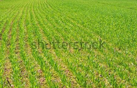 Campo fresco verde campo de trigo plantas Foto stock © Gudella