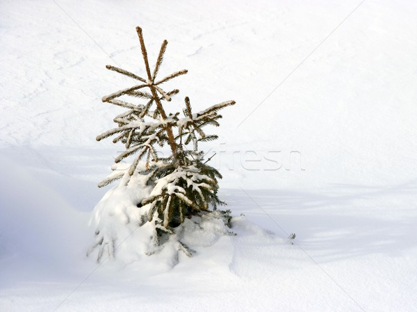 Pequeño fiesta enterrado nieve forestales hielo Foto stock © Gudella