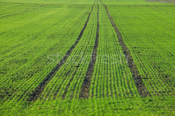 Plantas crescente agrícola campo primavera Foto stock © Gudella