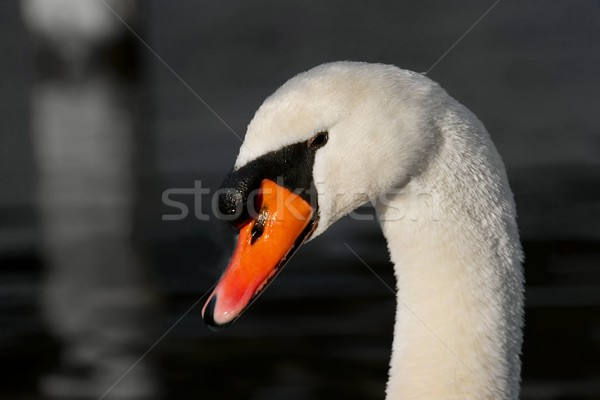 лебедя портрет белый озеро голову красивой Сток-фото © Gudella