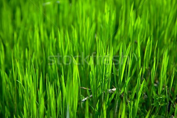 Grama vibrante grama verde fundo verde prado Foto stock © Gudella