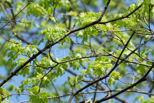 Folhas fresco pequeno árvore primavera floresta Foto stock © Gudella