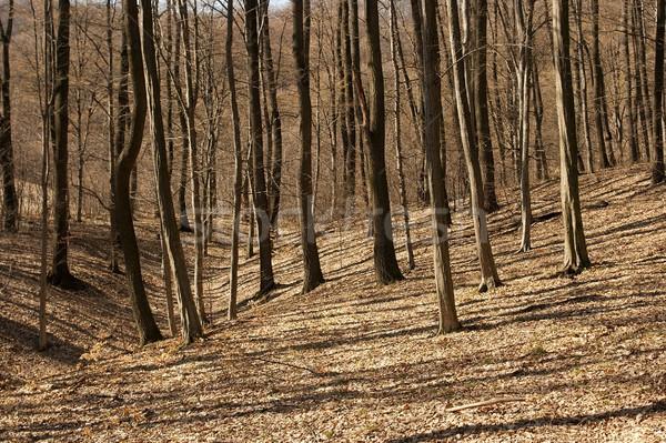 Floresta nu árvores natureza folhas Foto stock © Gudella