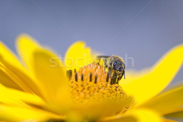a bee Stock photo © guffoto
