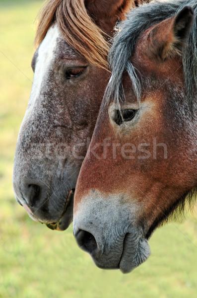 Lovak pár ló állat emlős Stock fotó © guffoto