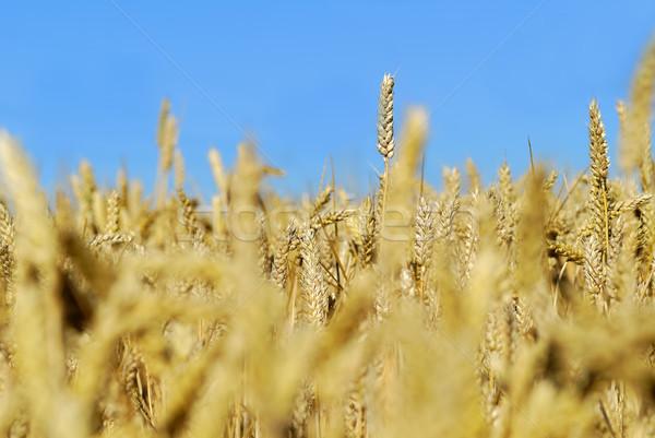 области пшеницы солнце лет завода Сток-фото © guffoto