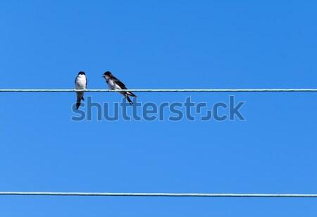 swallows Stock photo © guffoto