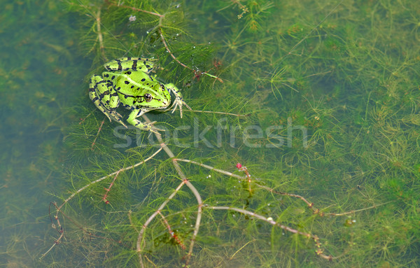 Zöld béka ül tó állat környezet Stock fotó © guffoto