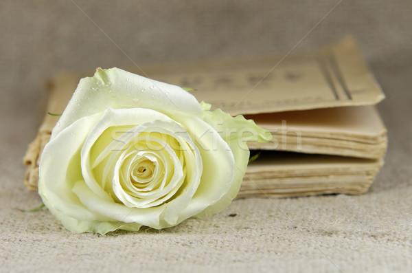 one rose Stock photo © guffoto
