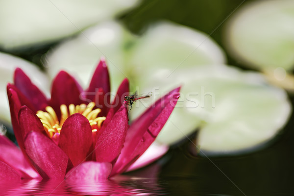 red waterlily Stock photo © guffoto