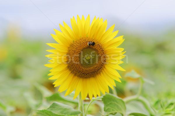 Ayçiçeği arı iniş doğa yaz tarım Stok fotoğraf © guffoto