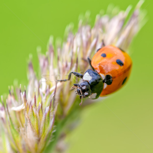 ladybird Stock photo © guffoto
