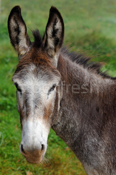 mule Stock photo © guffoto