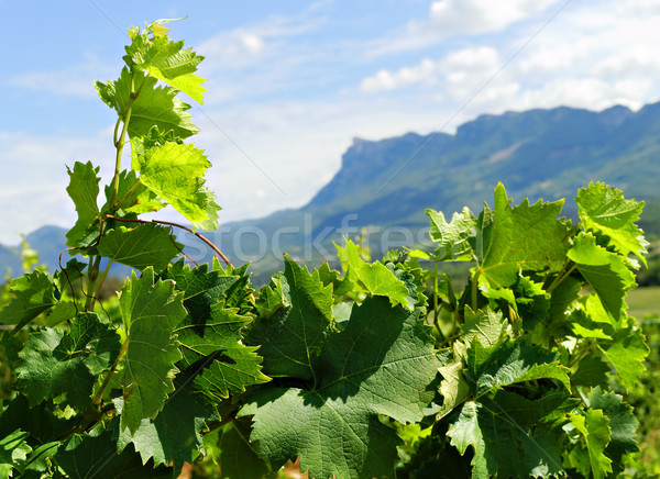Winorośl zielone pozostawia roślin rolnictwa winnicy Zdjęcia stock © guffoto